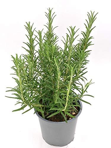 XXL - Rosmarin Rosmarius officinalis Kräuter Pflanzen 1 stk.