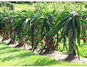 Best american beauty dragon fruit plant Reviews