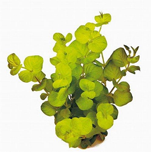 WFW wasserflora Goldenes Pfennigkraut/Lysimachia nummularia auera-Yellow im Topf