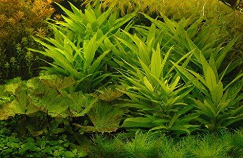 Guyanischer Wasserfreund / Hygrophila guianensis - x1 Bund