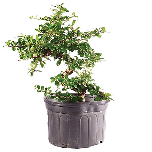 Brussel's Bonsai Live Fukien Tea Indoor Bonsai Tree-12 Years Old 10' to 14' Tall with Plastic Grower Pot, Large,