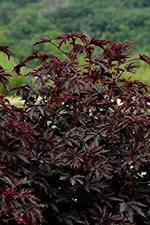 Details About Hibiscus Mahogany Splendor 100 Seeds Need More? Ask