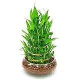 pertes Promotion. 6sortes Lucky Bamboo choisir en pot Seeds variété Dracaena...