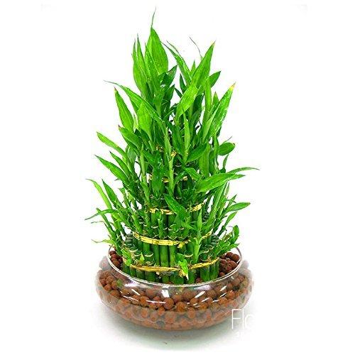 pertes 6 Sortes Lucky Bamboo Choisir en Pot Seeds variété Dracaena Graines complète de la Rate en Herbe 95%, 100/Lot de graines, Eush