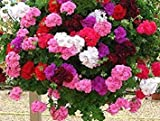 100 Piezas Color de la Mezcla de Geranio Flores SeedsRare Flor Pelargonium Peltatum