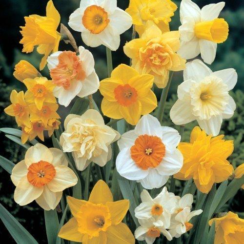 UK-Gardens Pack of 100 Mixed Daffodil Spring Flowering Garden Bulbs REDUCED - Large 12-14cm diameter...