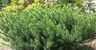 1 Duke Gardens Japanese Plum Yew Live Plant 3 Gallon Pot
