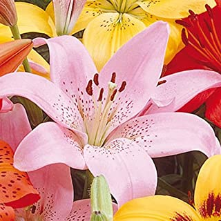 12 Lily Bulbs-Asiatic Lily Rosella's Dream(Pack of 12 Bulbs) Perennial, Zones 3-8