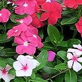 Vinca Nana Rosea multicolor (Pervinca) (Semente)