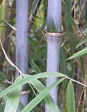 Box Of Three Bashania Fargesia, Chinese Blue Cane Bamboo, #1 Size Live Plant