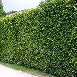 10 Thuja Brabant 60-80 cm frisch vom Feld Gartenhecke Heckenpflanzen Immergrüner Lebensbaum Wurzelware