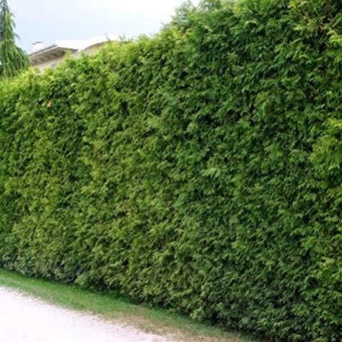 15 Thuja Brabant 60-80 cm frisch vom Feld Gartenhecke Heckenpflanzen Immergrüner Lebensbaum Wurzelware