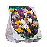 Baltus Crocus Grootbloemig Mix Blumenzwiebeln im Beutel, Mehrfarbig, Einheitsgröße