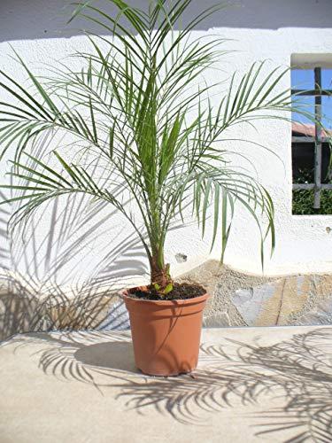 Palmera enano Phoenix roebelenii, una planta/palmera de aprox. 65-75 cm de alto