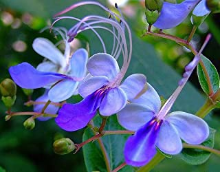 clerodendrum ugandense butterfly flower