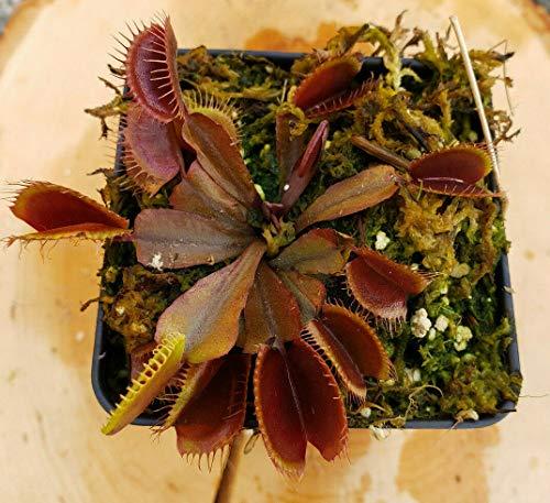 Live Tropical Carnivorous Plant Dionea Muscipula Venus Fly Trap Red Dragon 'Akai Ryu' - Potted 2.5'