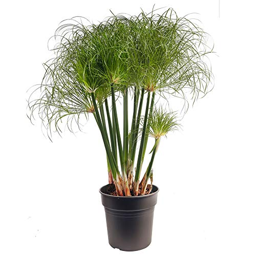 Ecoworld Cyperus Papyrus Nofretete + Wassertopf Taupe