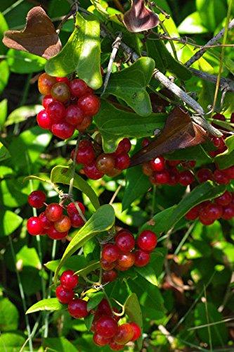 Samen-Paket Nicht Pflanzen: 5 Sarsparilla Seeds Smilax Aspera - Grown
