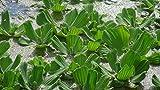 3 x Lechuga de agua (Pistia stratiotes).7-10 cm Flotante Planta Acuaria