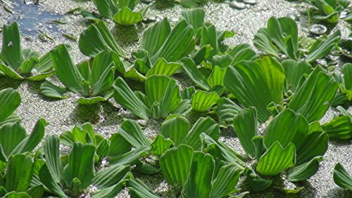 3 x Wassersalat / Pistia Stratiotes - 7-10 cm schwimmende Aquarium Pflanze