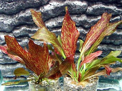 Echinodorus Red Flame - Rotgeflammte Schwertpflanze - 2 Pflanzen - Wasserpflanzen für Aquarien