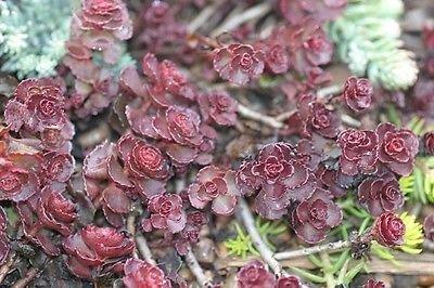 50+ Violet Tapis Sedum Graines de fleurs/vivaces