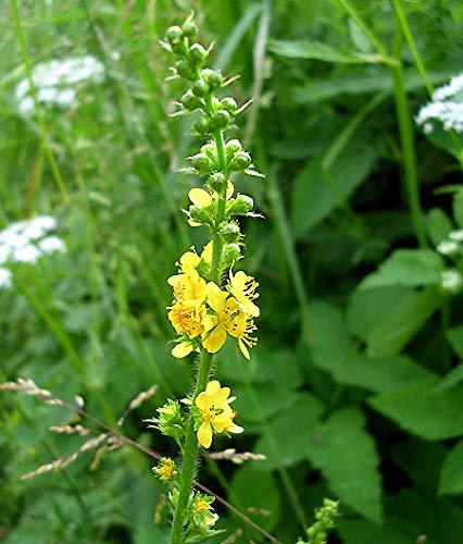 Gewöhnliche Odermennig - Agrimonia eupatoria - 20 Samen
