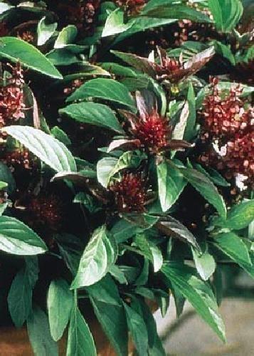 Tropica - Herbes - Thai - Basilikum (Ocimum basilicum) - 200 graines