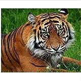 Nonebranded Acrilico Pintura Kit Pintar Numeros Animal De Tigre De Pradera For Mayores Avanzada Niños Joven Pinturas con Numeros para Adultos DIY 40X50Cm