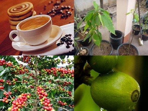 Coffea Robusta, exotische Kaffee Pflanze! Ertragsreichsten Sorten der Welt!