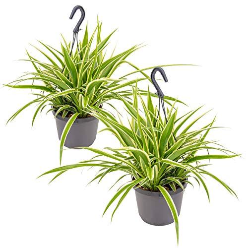 Graslilie im hängenden Topf pro 2 | Chlorophytum 'Variegatum' - Zimmerpflanze ~ 18 cm - ~ 40-45 cm
