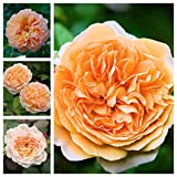 Rose Bush - Traditional Apricot Old English Scented Rose Bush in a 3 Litre Pot Ready to Plant