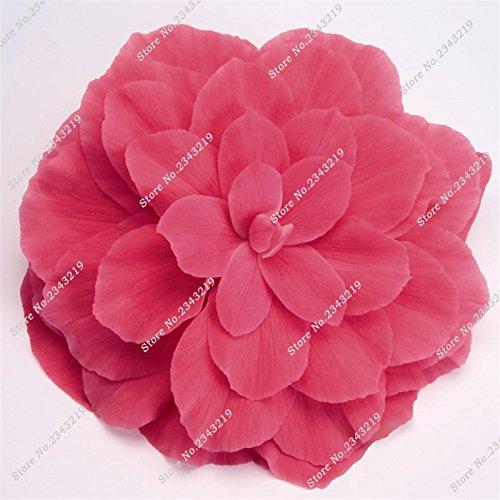 Double Graines Begonia Bonsai Graine Blanc Rouge Jaune Regarder Fleur Rose comme fleur en pot Plantes Fleurs de purification d'air 20 Pcs