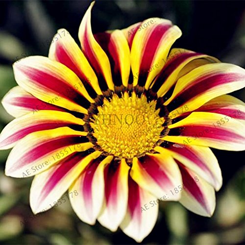 100pcs/sac Rare Fleurs graines Gazania rigens Graines Accueil Balcon Jardin Bonsai d'ornement Splendens Chrysanthème 3