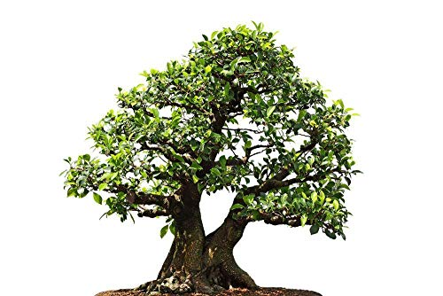 ScoutSeed Higo llorón, Ficus Benjamina 20 Semillas - Bonsai/Patio, etc.