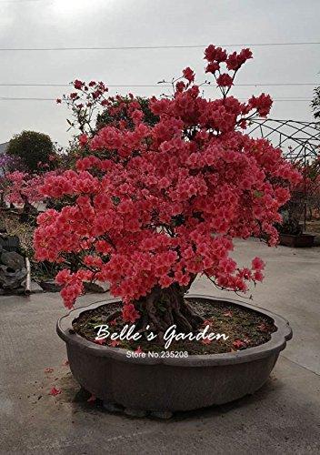 100 pcs/sac Variétés graines Azalea, belle plante de fleurs Accueil Jardin Fleurs en pot semences intérieur Graines Bonsai 4