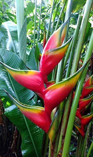 Rare Live Heliconia 'Aurea' Large Plant Rhizome Tropical Flower Banana Ginger