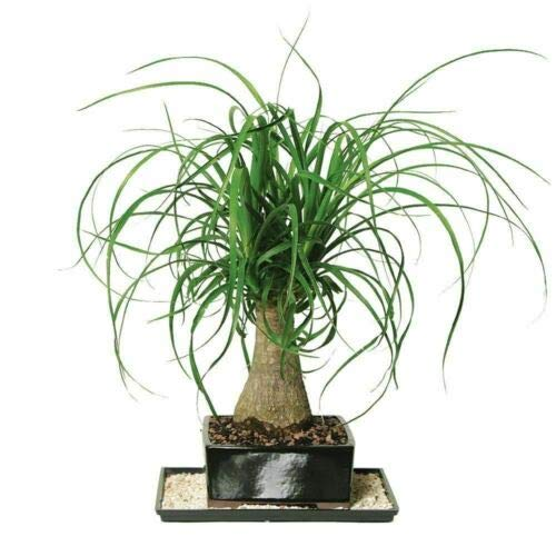 Tree Plant - Bonsai Ponytail Palm - 1 Plant - 1 Feet Tall - Ship in 6' Pot