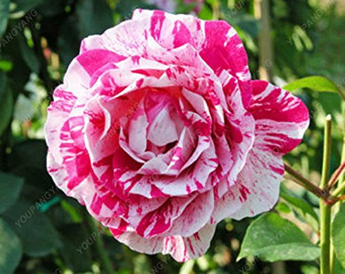 100pcs/sac Rose Graines Rainbow Rose So Charming Bonsai Graines de fleurs rares et précieuses fleurs vivaces plantes pour jardin Noir