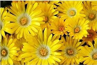Best livingstone daisy plants Reviews