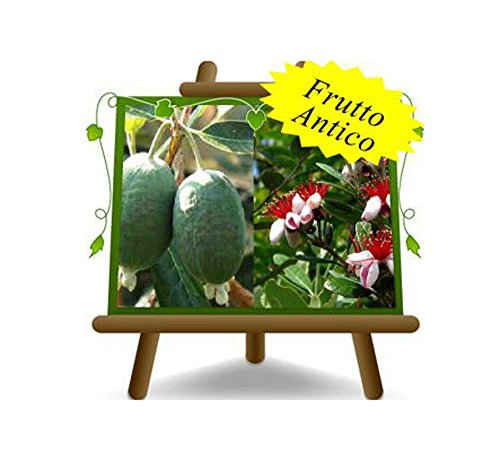 Feijoa Mammouth – pianta da frutto antico - Albero su vaso da 20 - max 100 cm - 2 anni