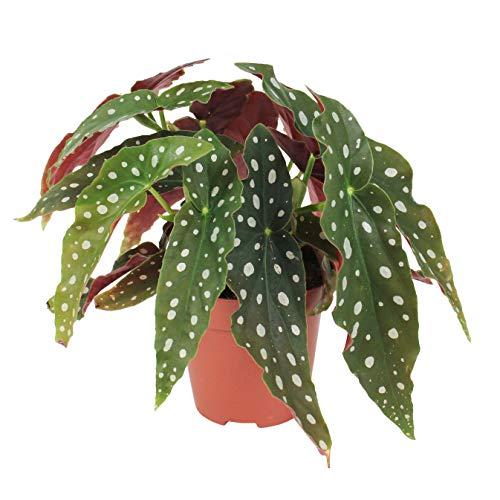 Begonia maculata |Begonia Trota |Foglia punteggiata |Altezza 15-25 cm |Vaso Ø 12 cm
