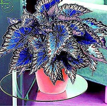 Bonsai Coleus seeds foliage plants perfect color Arc-Dragon Seeds beautiful flower plant garden Semente 30 seeds k42 1