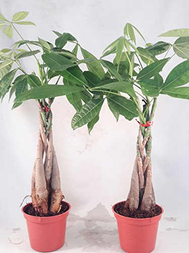Two Money Tree 5 Plants Braided Into Pachira Tree - Unique from jmbamboo