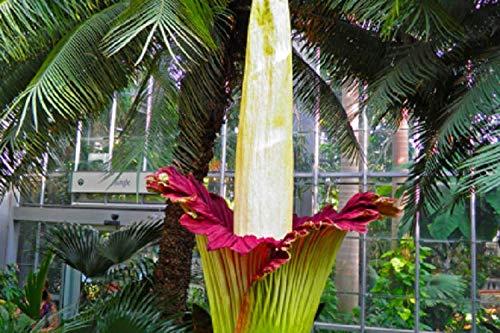 SANHOC 10 Rare Red Corpse Blumensamen Titan Arum Größte Blumen-Garten-Pflanze Exotische
