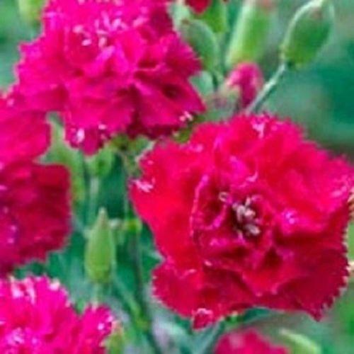 50 graines de Carnation Dianthus Magenta Chabaud Graines de fleurs