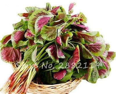 Herb Amaranthus Tricolor Seeds 50 Pcs graminée Semente non Ogm végétale comestible Bonsai Plante en pot sain sucré 15