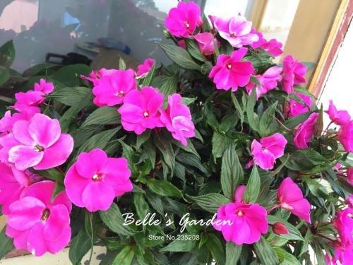 100 pcs / sac de graines de Balsamine, belle plante de fleurs Accueil Jardin Fleurs en pot semences intérieur Graines Bonsai 4