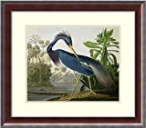 Framed Wall Art Print Louisiana Heron, from 'Birds of America', Engraved by Robert Havell, 1834 by John James Audubon 25.38 x 22.38 in.