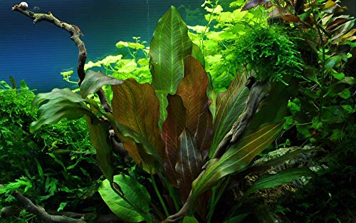 Tropica Aquarium Pflanze Echinodorus 'Reni' rot Nr.072D Wasserpflanzen Aquarium Aquariumpflanzen